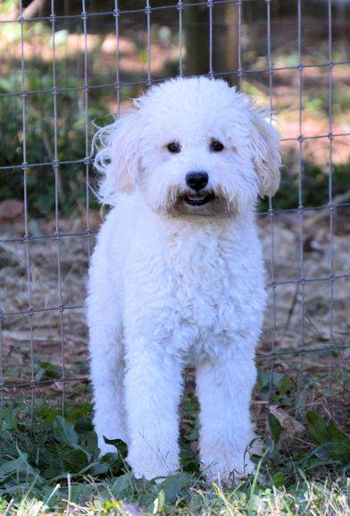 Mongoose is an F1  and a father here at Virginia Poodles and Doodles