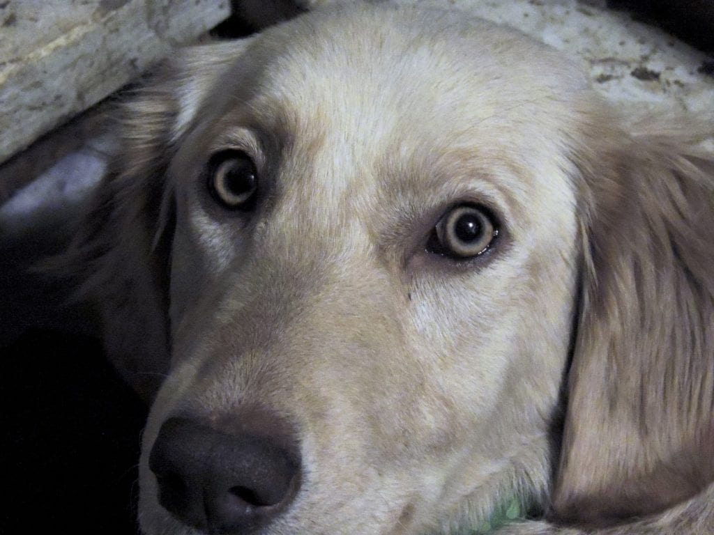 Isabella Rose (Izzy) is an  Golden Retriever and a mother here at Virginia Poodles and Doodles