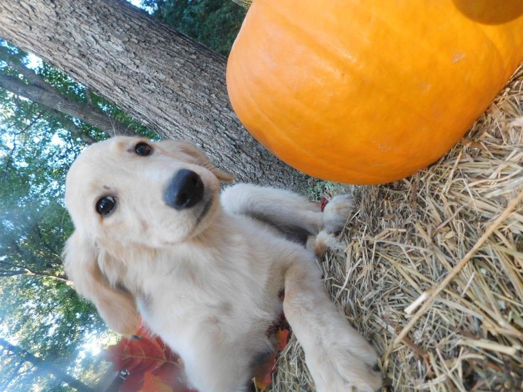 Adorable 50 lbs Goldendoodles