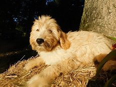 A litter of 50 lbs F1 Goldendoodles available in Virginia