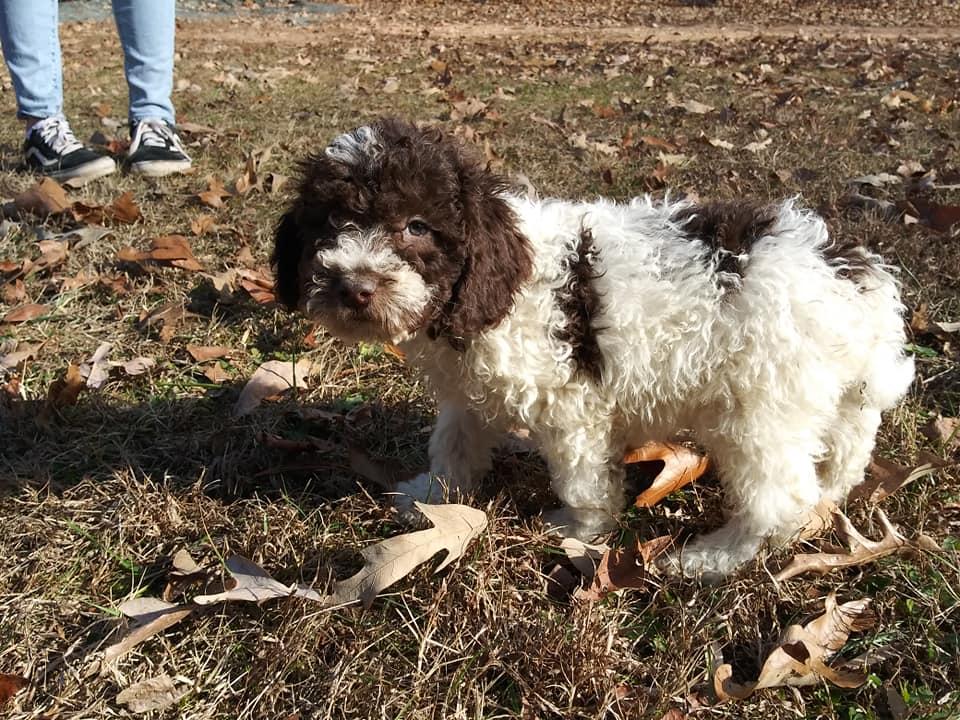 Chocolate and White Parti Male Goldendoodle came from Carmella and Miracle Max's litter of F1B Goldendoodles
