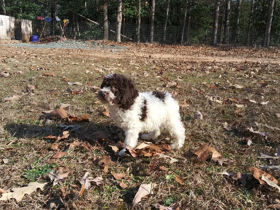 Chocolate and White Parti Male Goldendoodle is an F1B Goldendoodle that should have Small, curly f1b mini-goldendoodles with merle and parti coloring.