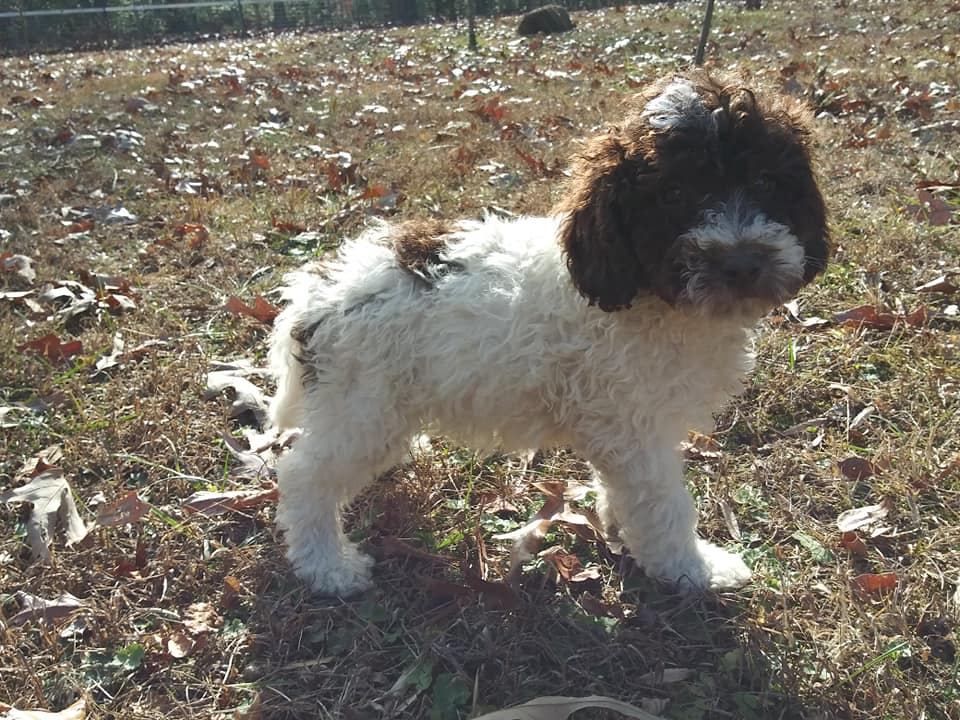 A picture of a Chocolate and White Parti Male Goldendoodle, one of Doodle Breeder's Mini Goldendoodles
