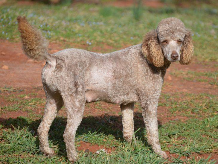 Carmella is an CKC Moyan Poodle Moyan Poodle and a mother here at Virginia Poodles and Doodles