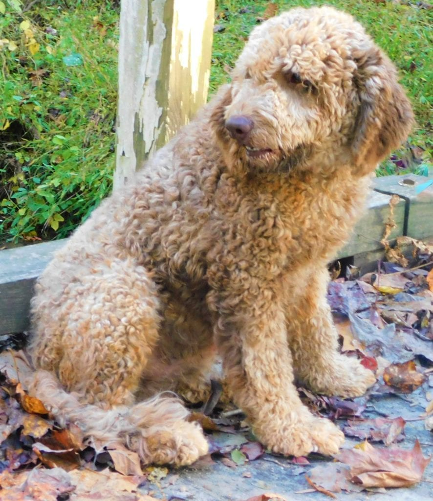 Miracle Max is an F1 Goldendoodle and a father here at Virginia Poodles and Doodles