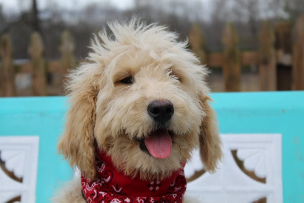 A picture of a Spice, one of Doodle Breeder's Mini Goldendoodles