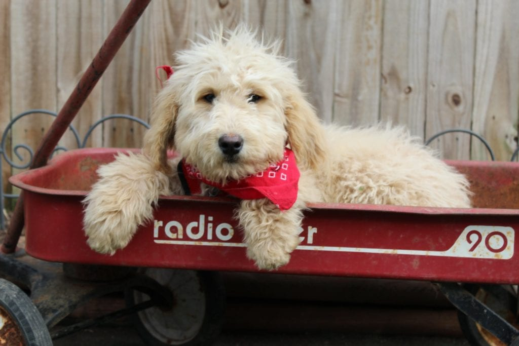 Spice is an F1B Goldendoodle that should have Large, curly haired, non-shedding, hypoallergenic