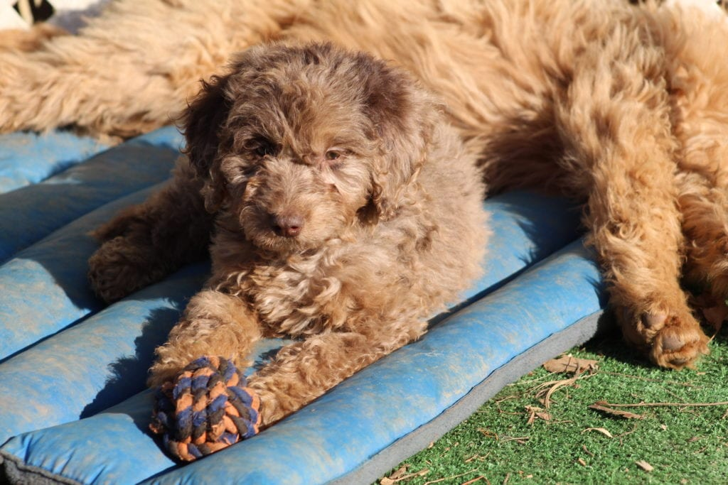A picture of a Smartie- f1b mini merle female, one of Doodle Breeder's Mini Goldendoodles