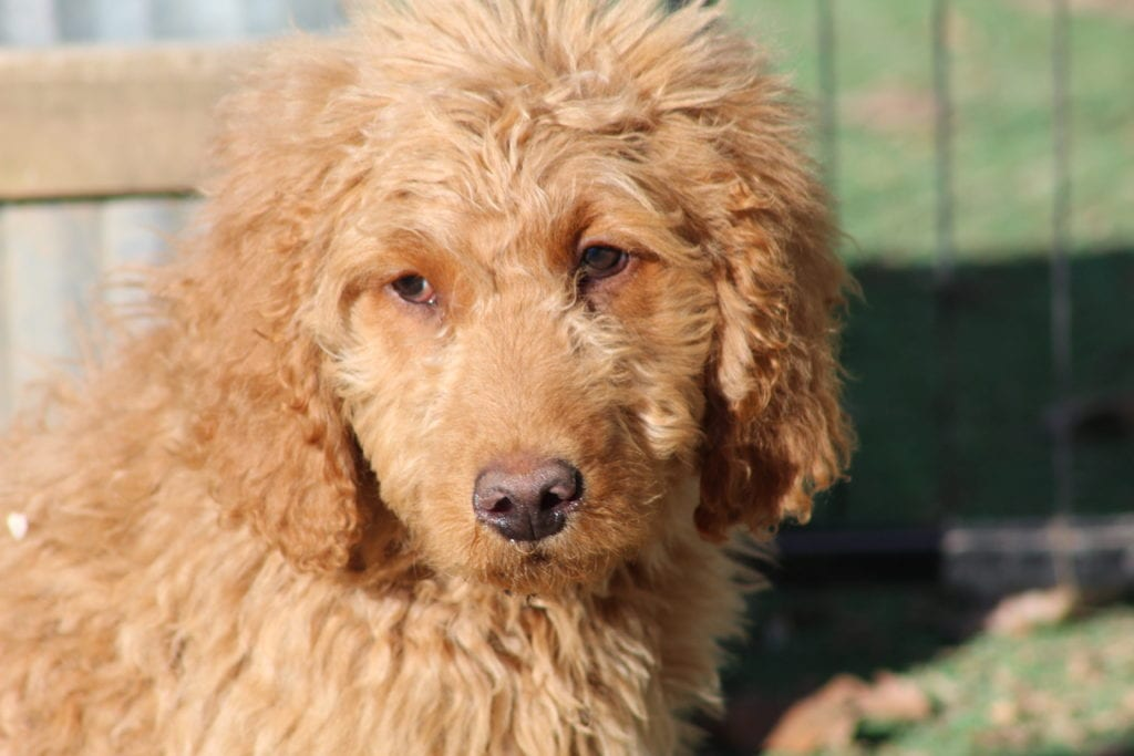 A picture of a group of 40 pounds F1b Goldendoodles bred in Virginia
