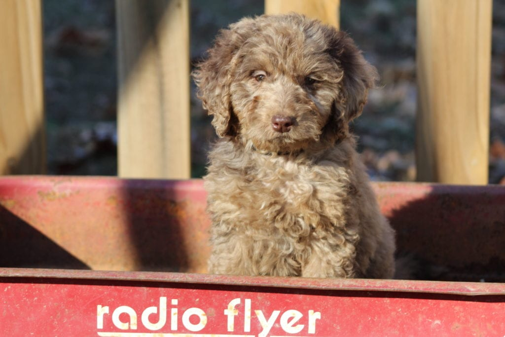 Smartie- f1b mini merle female is an F1B Goldendoodle that should have Small, curly f1b mini-goldendoodles with merle and parti coloring.