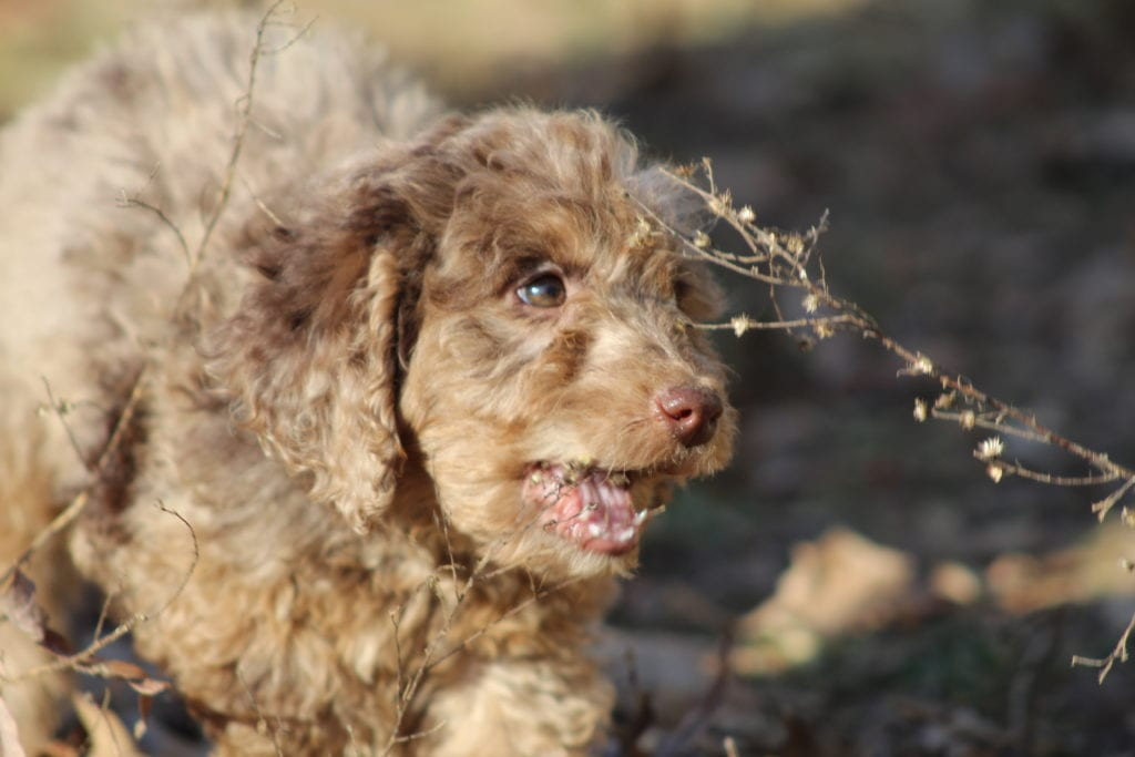 Smartie- f1b mini merle female came from Carmella and Miracle Max's litter of F1B Goldendoodles