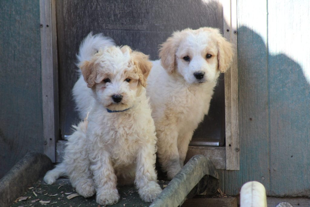 Adorable 20 pounds Goldendoodles