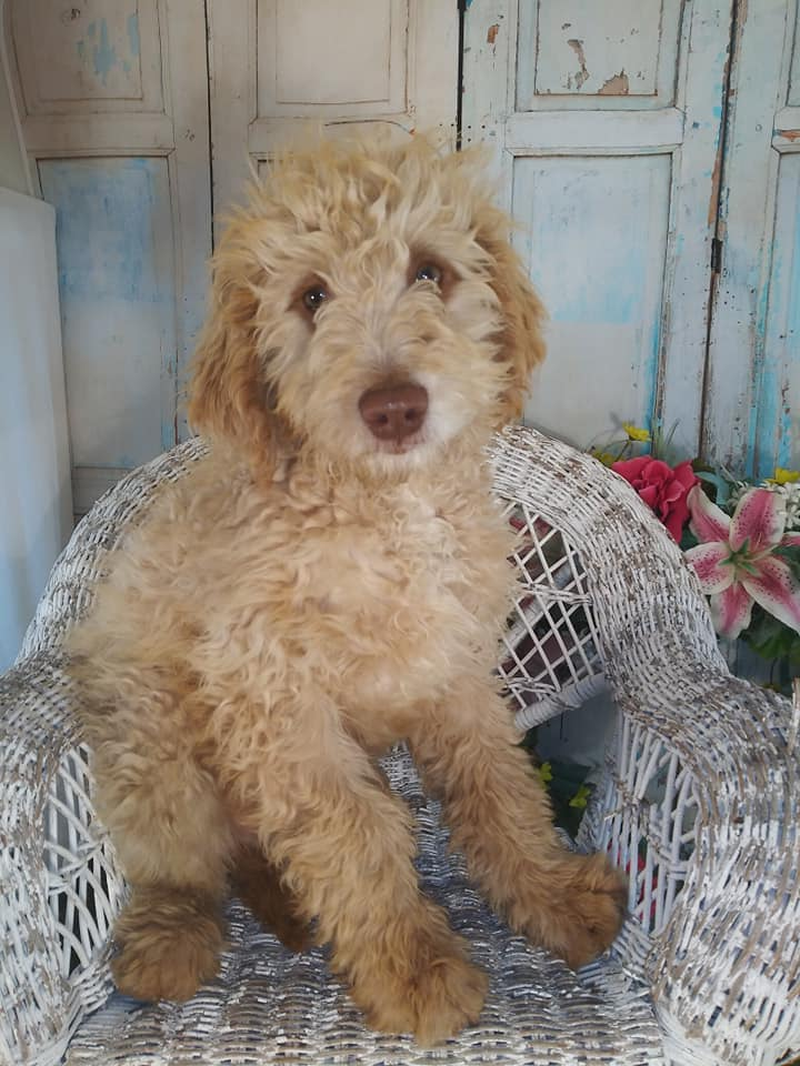 Sabrina came from Carmella and Miracle Max's litter of F1B Goldendoodles
