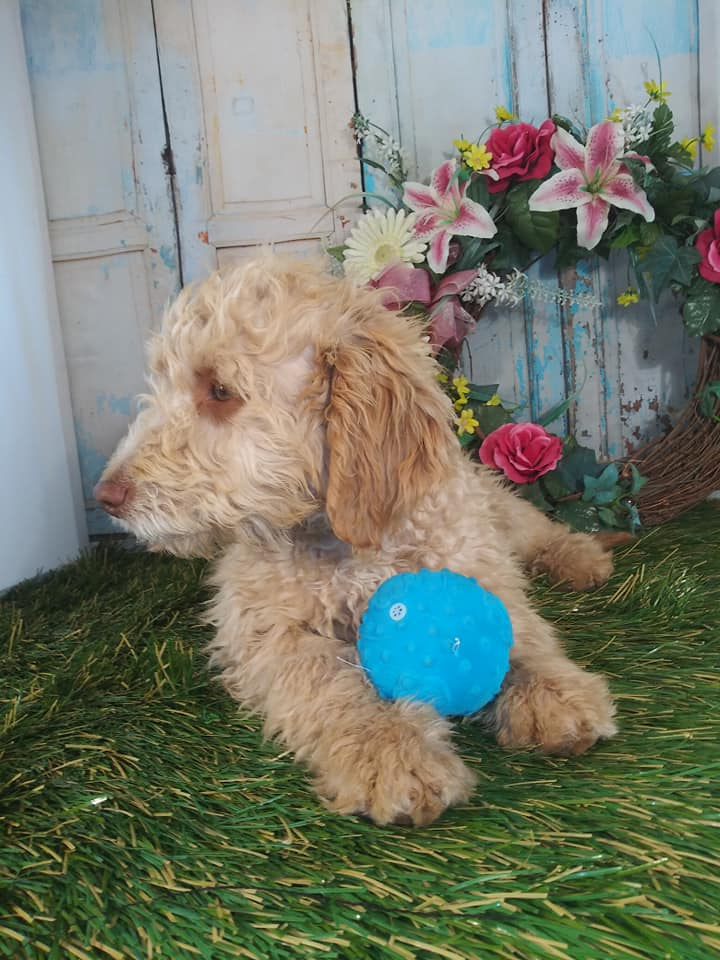 Sabrina is an F1B Goldendoodle that should have Small, curly f1b mini-goldendoodles with merle and parti coloring.