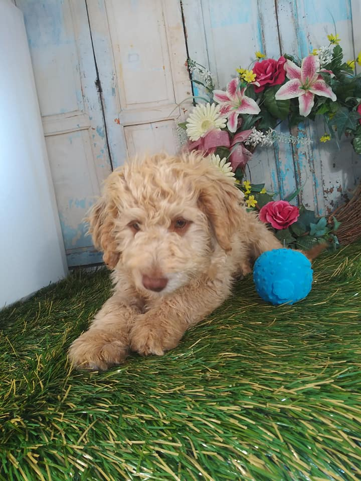 A picture of a Sabrina, one of Doodle Breeder's Mini Goldendoodles