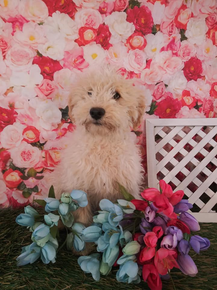 A picture of a Snack, one of Doodle Breeder's 25-30 pounds Goldendoodles
