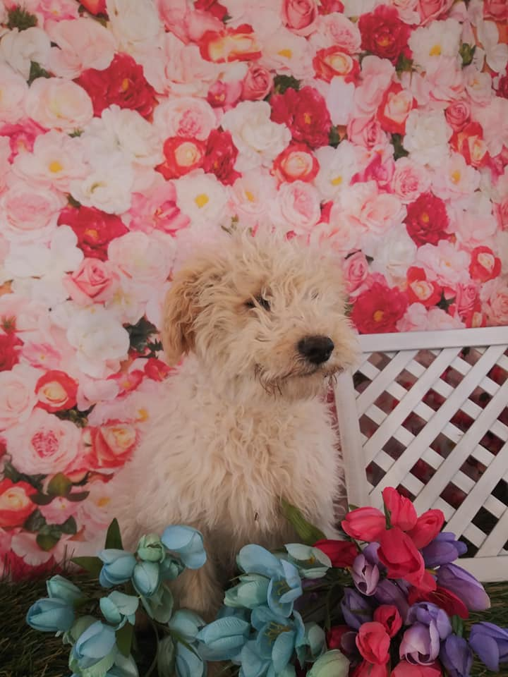 Snack is an F2 Goldendoodle that should have Some smooth, some curly, and a few wavy