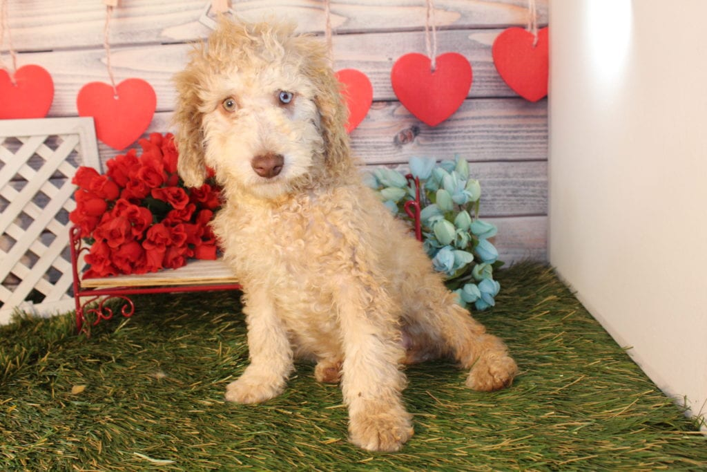 A picture of a Mia- Mini F1b goldendoodle, one of Doodle Breeder's Mini Goldendoodles
