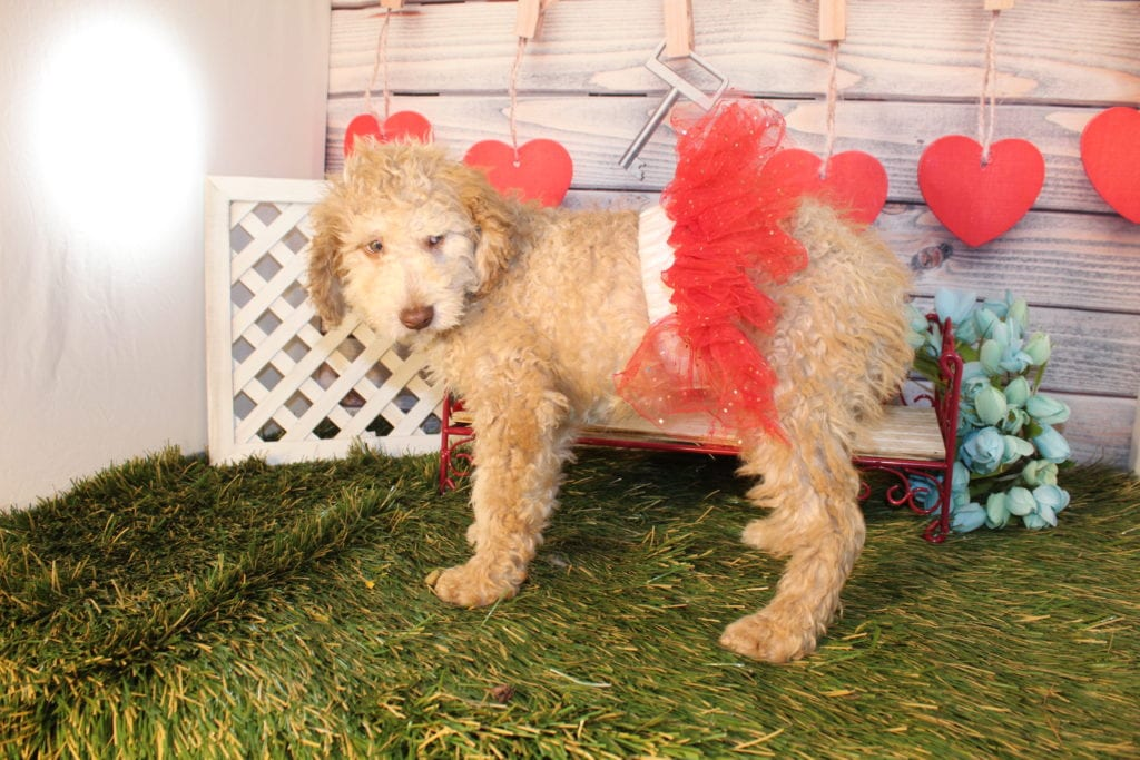 Mia- Mini F1b goldendoodle came from Carmella and Miracle Max's litter of F1B Goldendoodles
