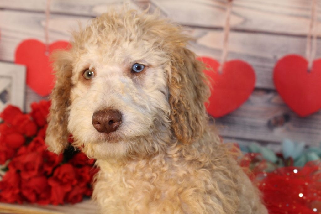 Mia- Mini F1b goldendoodle is an F1B Goldendoodle that should have Small, curly f1b mini-goldendoodles with merle and parti coloring.
