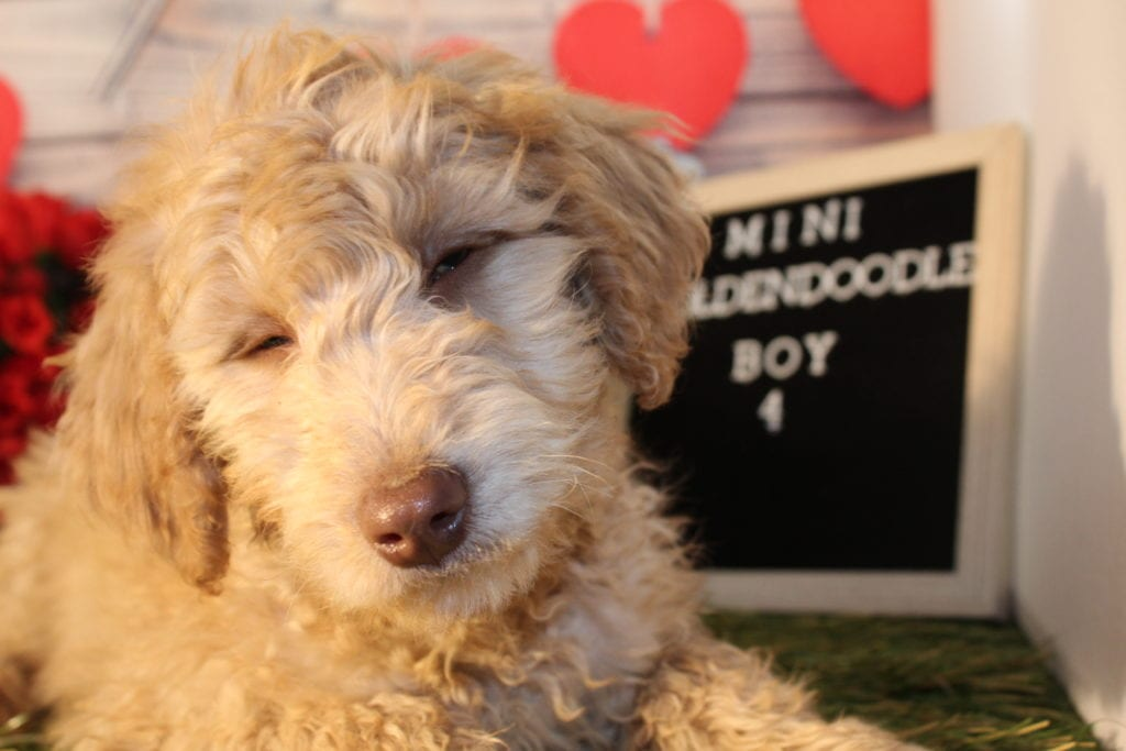 Chip came from Carmella and Miracle Max's litter of F1B Goldendoodles