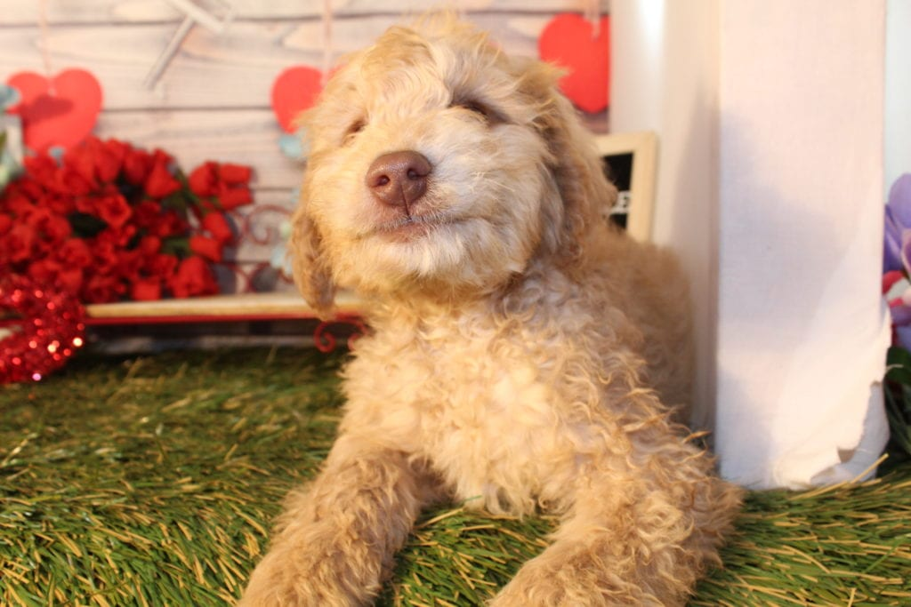 A picture of a Chip, one of Doodle Breeder's Mini Goldendoodles