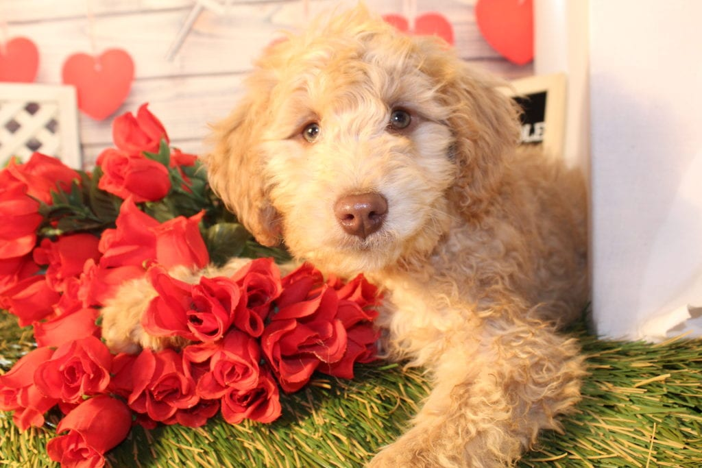 Chip is an F1B Goldendoodle that should have Small, curly f1b mini-goldendoodles with merle and parti coloring.