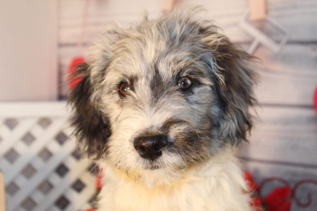 Steel came from Maxine and Miracle Max's litter of F2 Goldendoodles