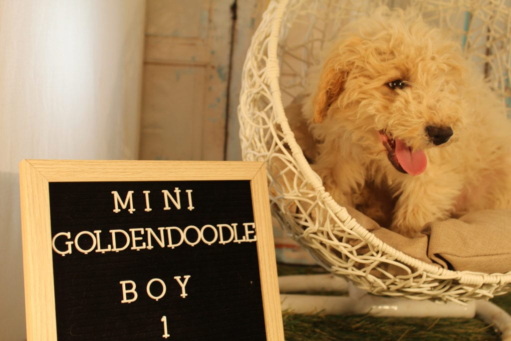 A picture of a Scout, one of Doodle Breeder's 25-30 pounds Goldendoodles