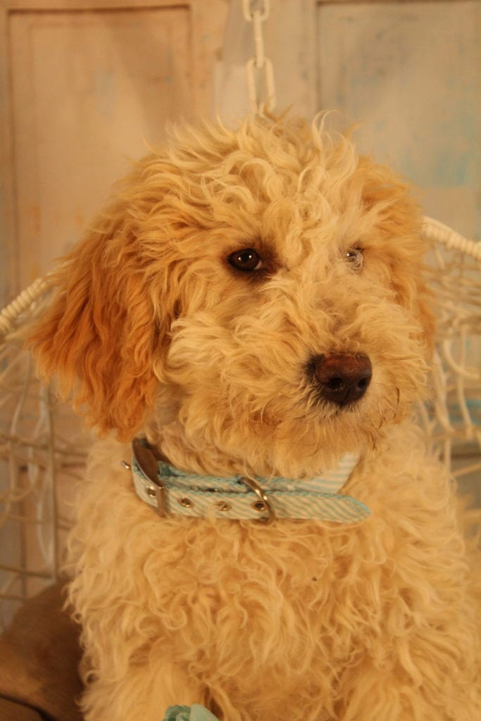 Scout came from Goose and Mongoose's litter of F2 Goldendoodles