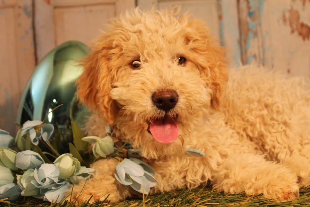 Scout is an F2 Goldendoodle that should have Small, smoother, easy care coats