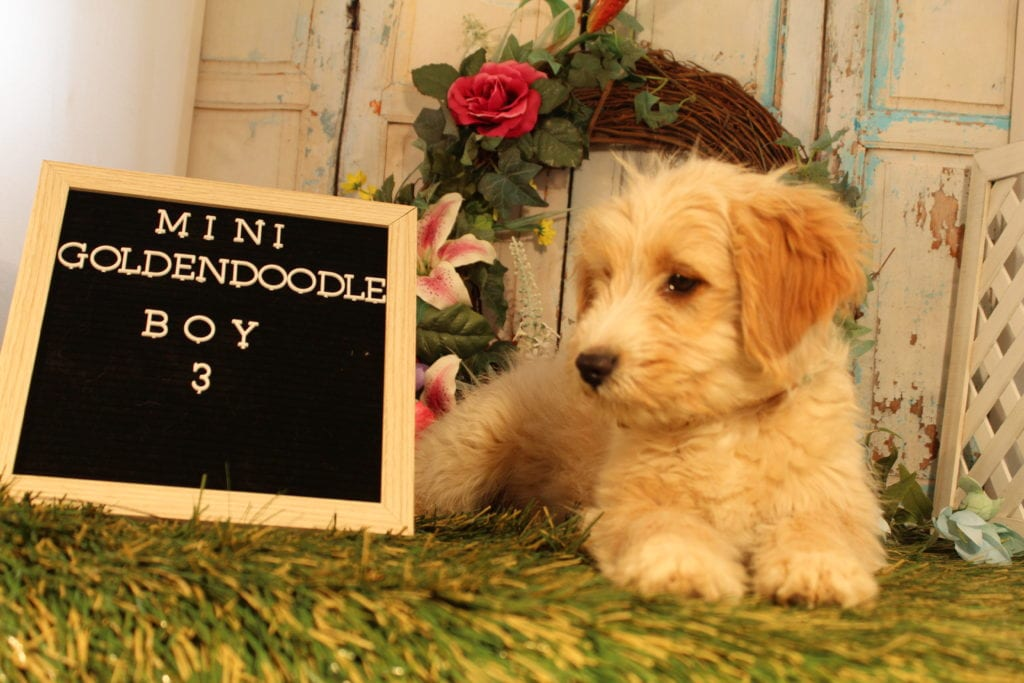 A picture of a Butterscotch, one of Doodle Breeder's 15 pounds Goldendoodles