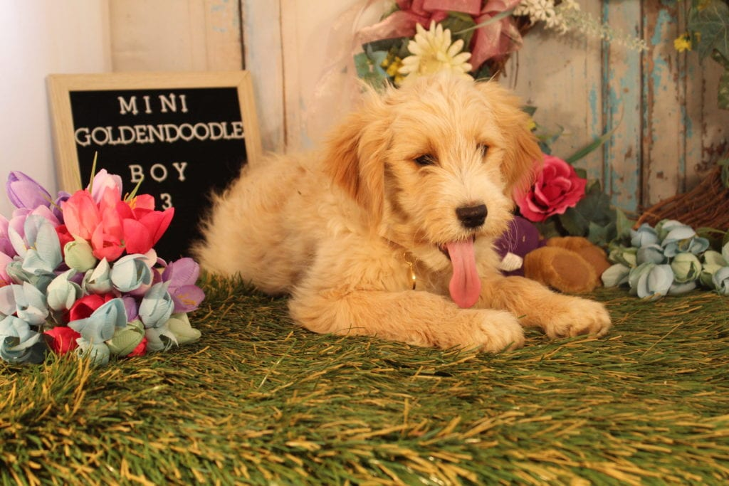 Butterscotch came from Precious and Mongoose's litter of F2 Goldendoodles