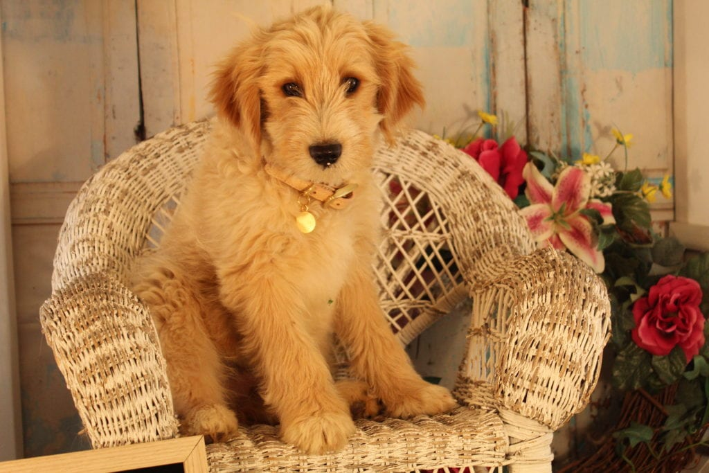 Scout is an F2 Goldendoodle that should have Some smooth, some curly, and a few wavy