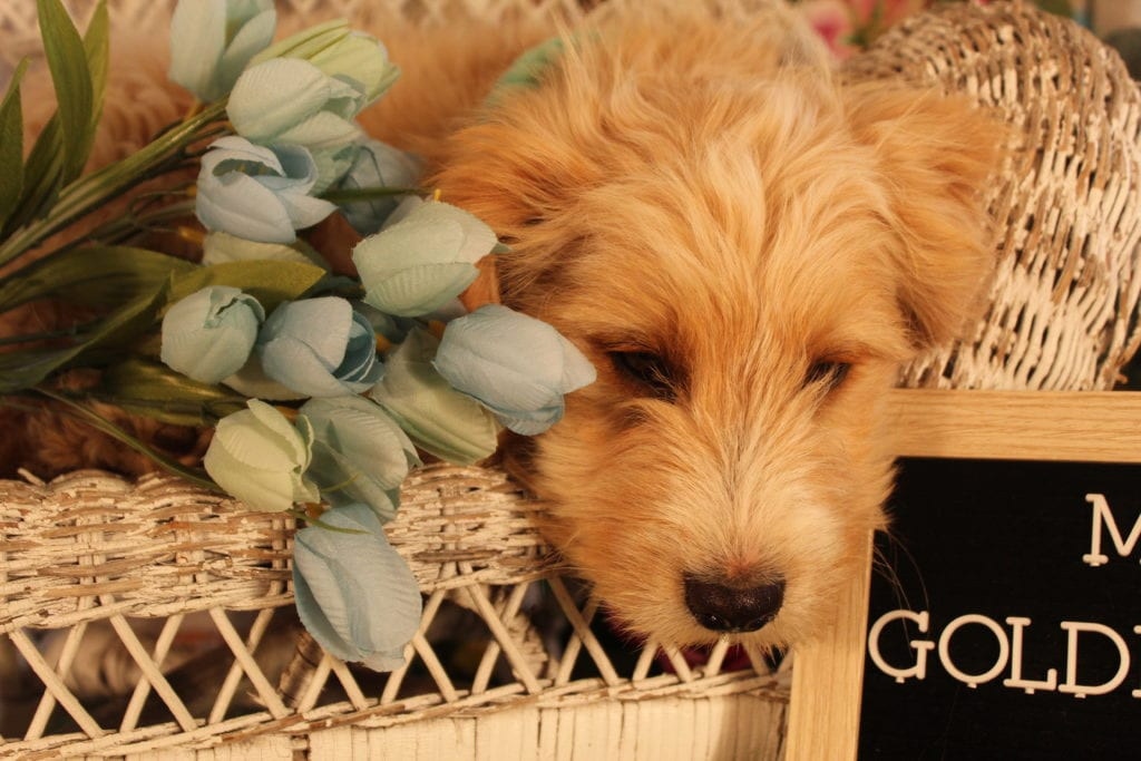 Butterscotch is an F2 Goldendoodle that should have Small, sweet and loving micro doodles