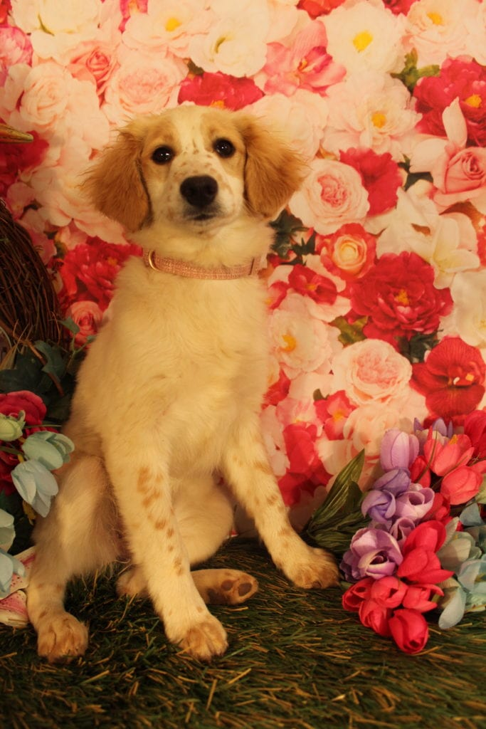 Freckles is an F2 Goldendoodle that should have Some smooth, some curly, and a few wavy
