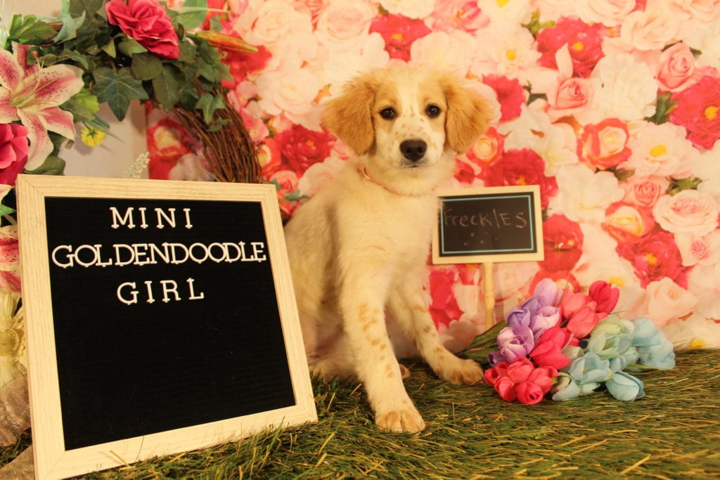 Freckles came from Goose and Mongoose's litter of F2 Goldendoodles