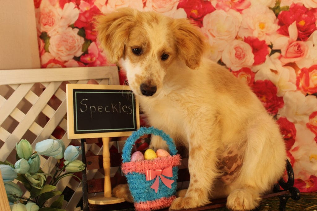 Speckles came from Goose and Mongoose's litter of F2 Goldendoodles