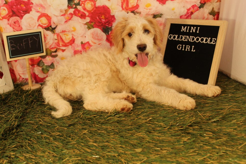 Buffy is an F2 Goldendoodle that should have Some smooth, some curly, and a few wavy