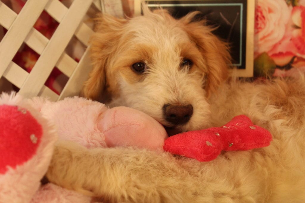 Buffy came from Goose and Mongoose's litter of F2 Goldendoodles