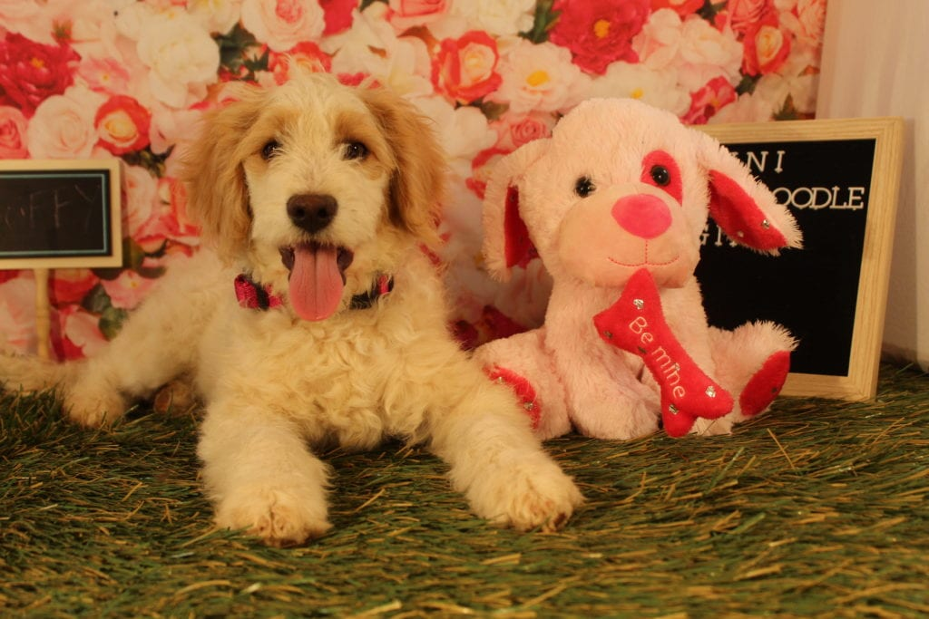 A picture of a Buffy, one of Doodle Breeder's 25-30 pounds Goldendoodles