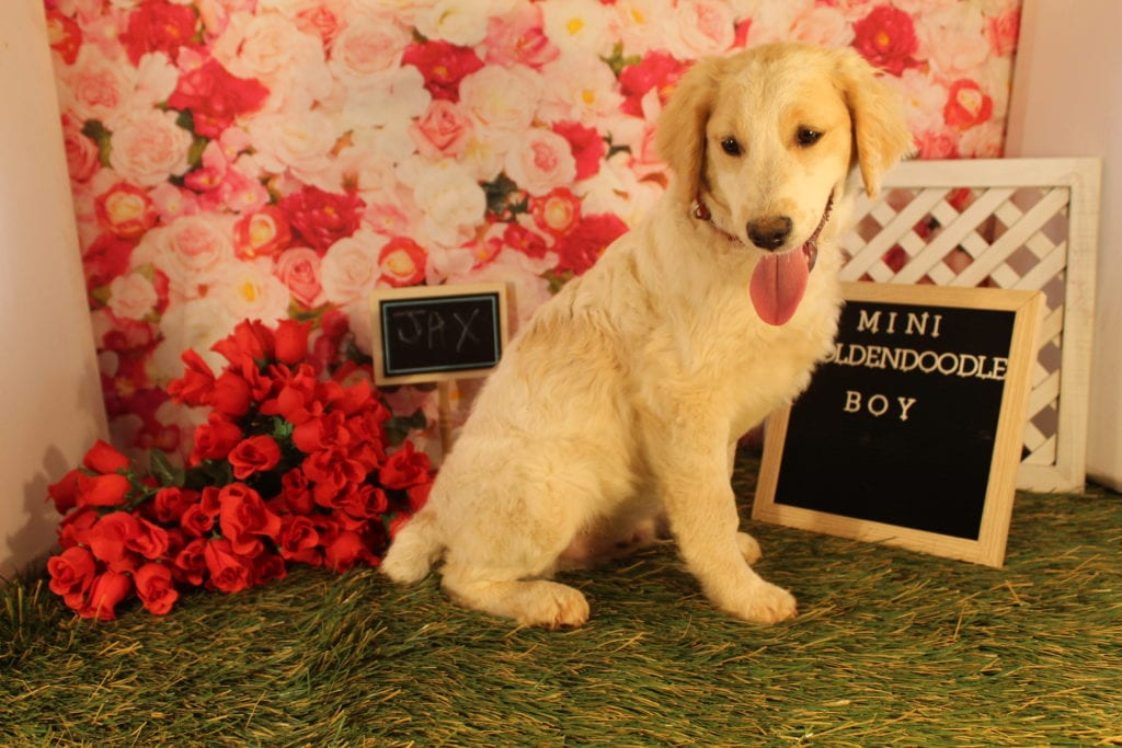 A picture of a Jax, one of Doodle Breeder's 25-30 pounds Goldendoodles