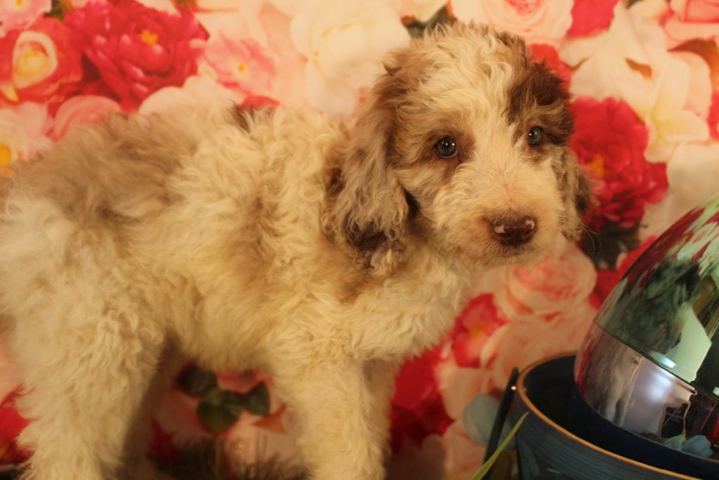 Caramello is an F2 Goldendoodle that should have Medium, wavy to light curly merle f2 goldendoodldes