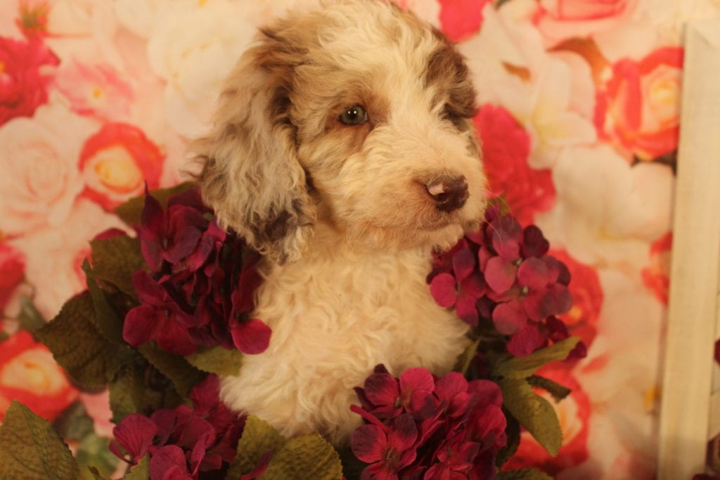 Caramello came from Brittney and Miracle Max's litter of F2 Goldendoodles
