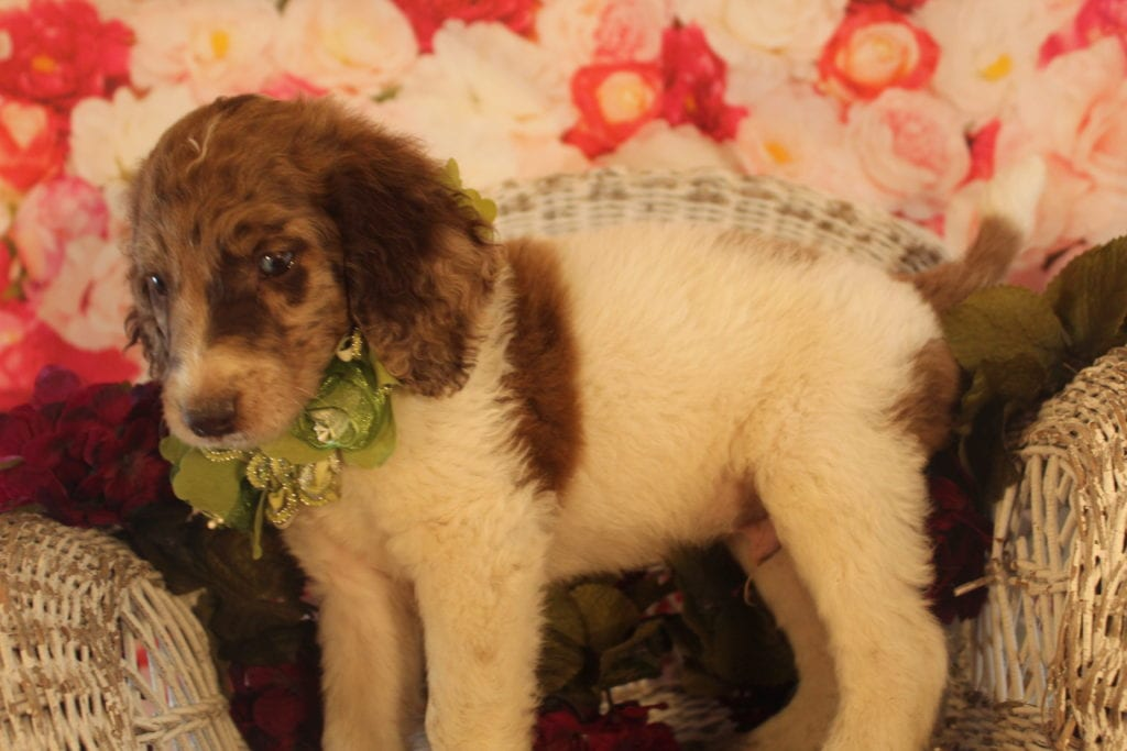 Snickers came from Brittney and Miracle Max's litter of F2 Goldendoodles
