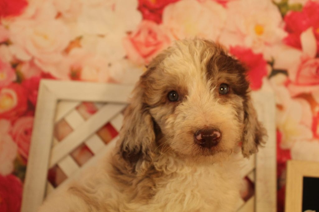 Kit Kat is an F2 Goldendoodle that should have Medium, wavy to light curly merle f2 goldendoodldes