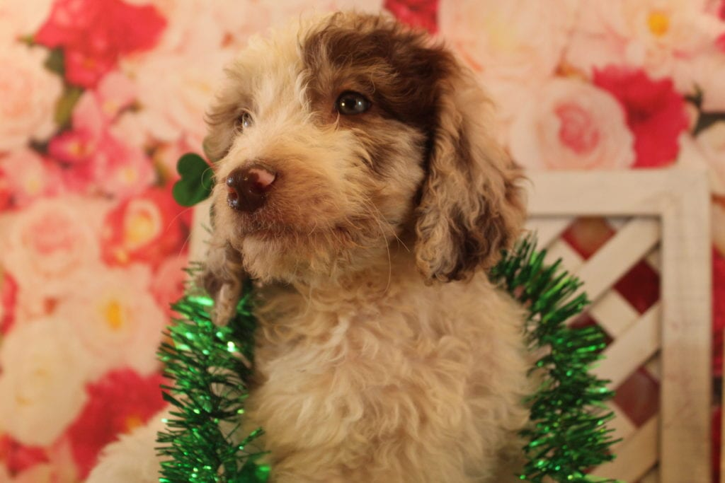 Kit Kat came from Brittney and Miracle Max's litter of F2 Goldendoodles