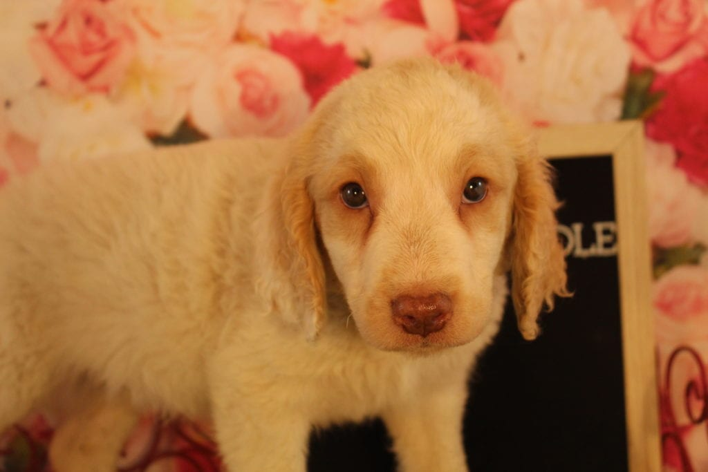 A picture of a Chicklet, one of Doodle Breeder's 40 pounds Goldendoodles