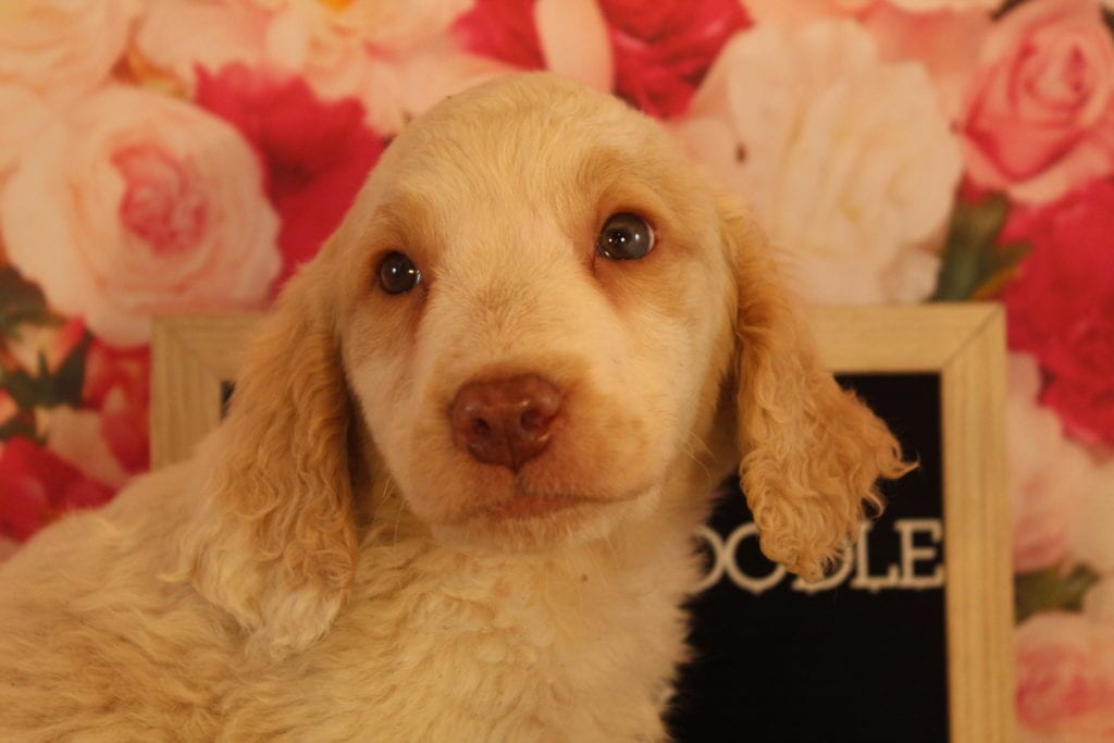 Chicklet is an F2 Goldendoodle that should have Medium, wavy to light curly merle f2 goldendoodldes