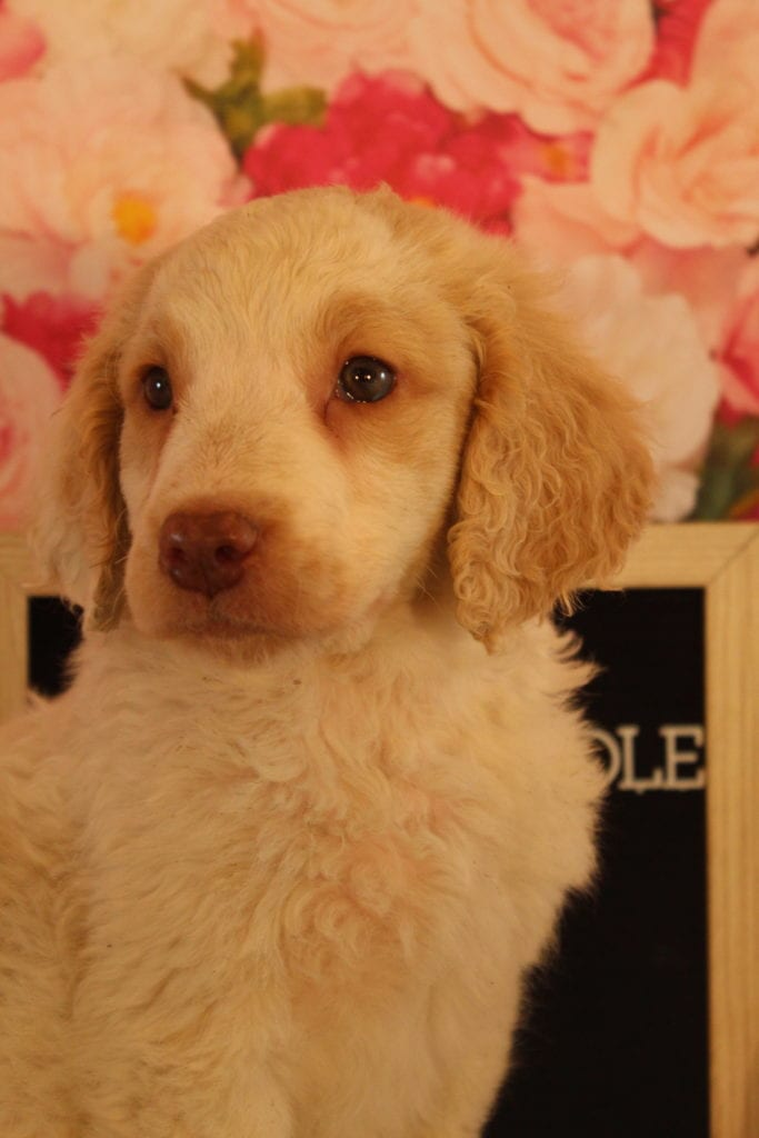 Chicklet came from Brittney and Miracle Max's litter of F2 Goldendoodles